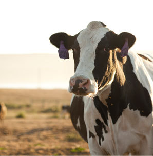 Normalized_black_white_cow